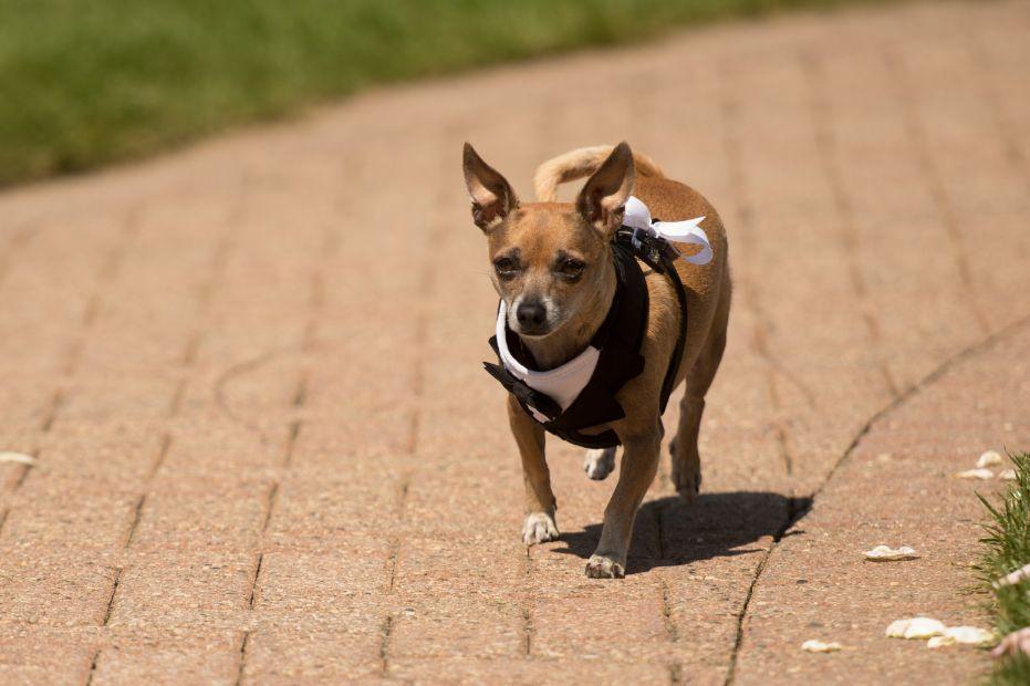 Dog as ring bearer